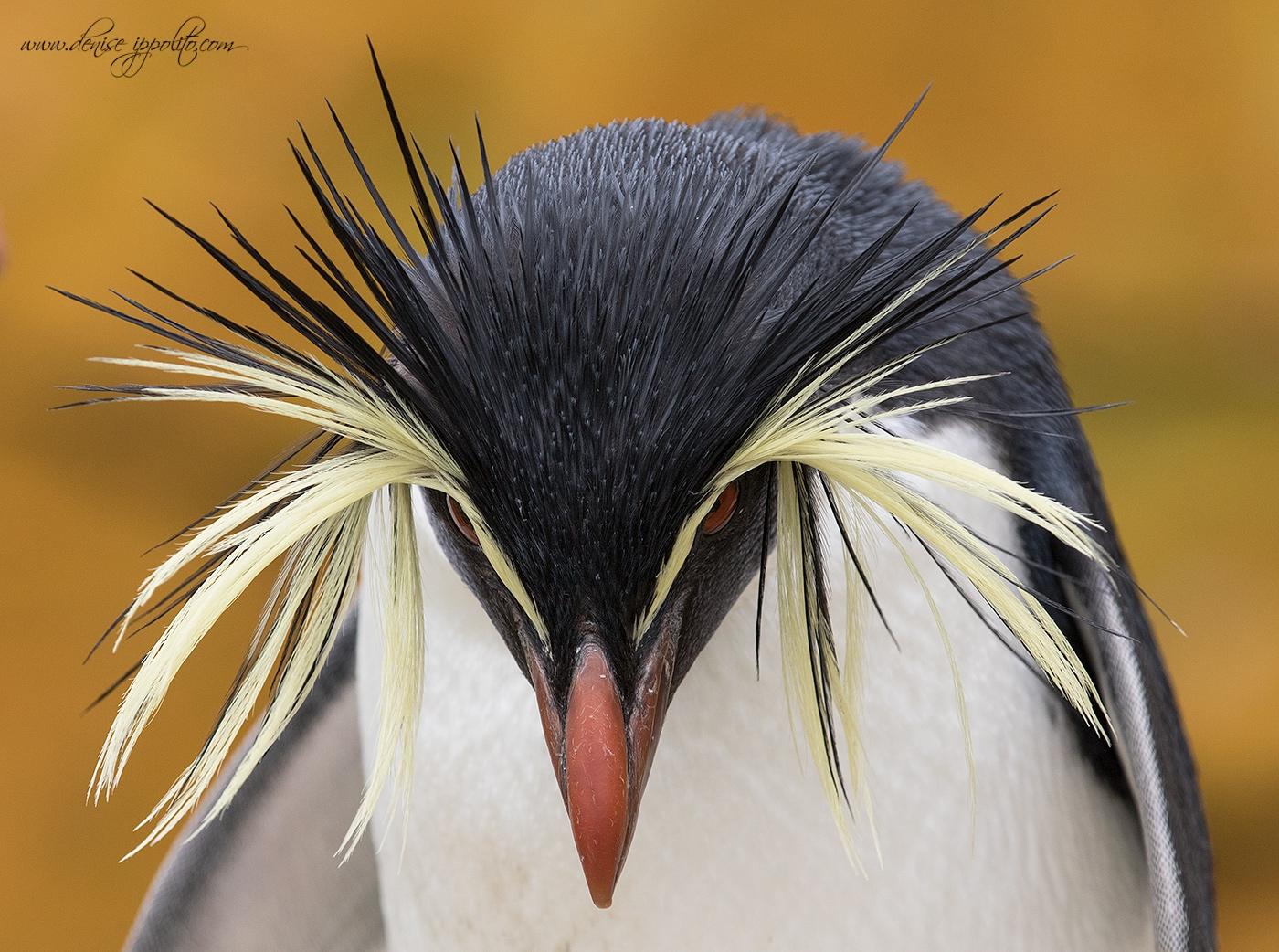 Rockhopper penguin in the Falklands