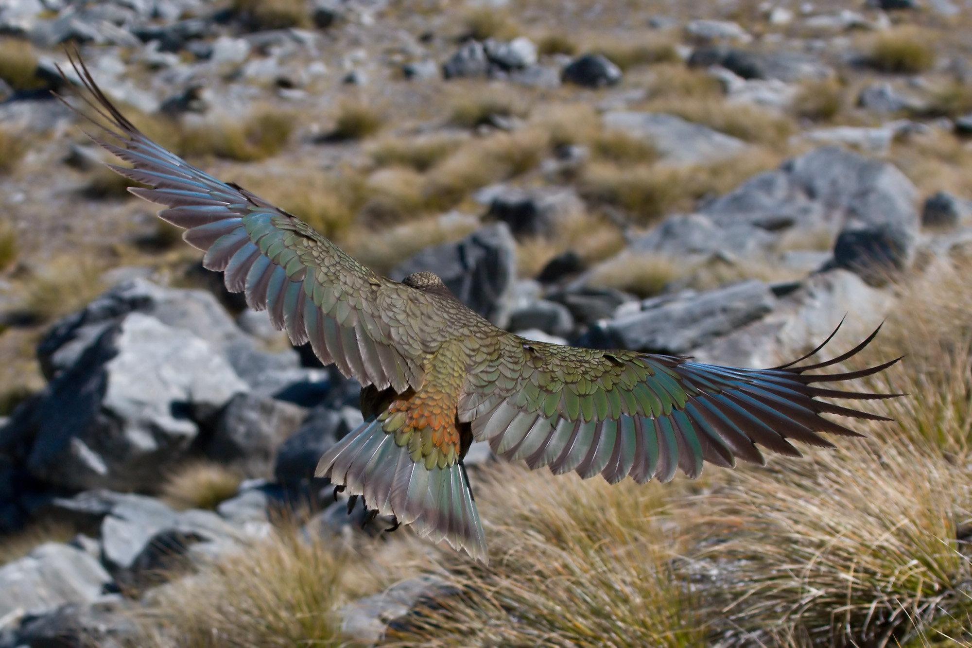 Kea in flight, by  Christian Mehlführer