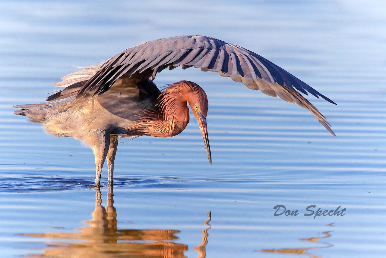 reddish egret canopy fishing.jpg