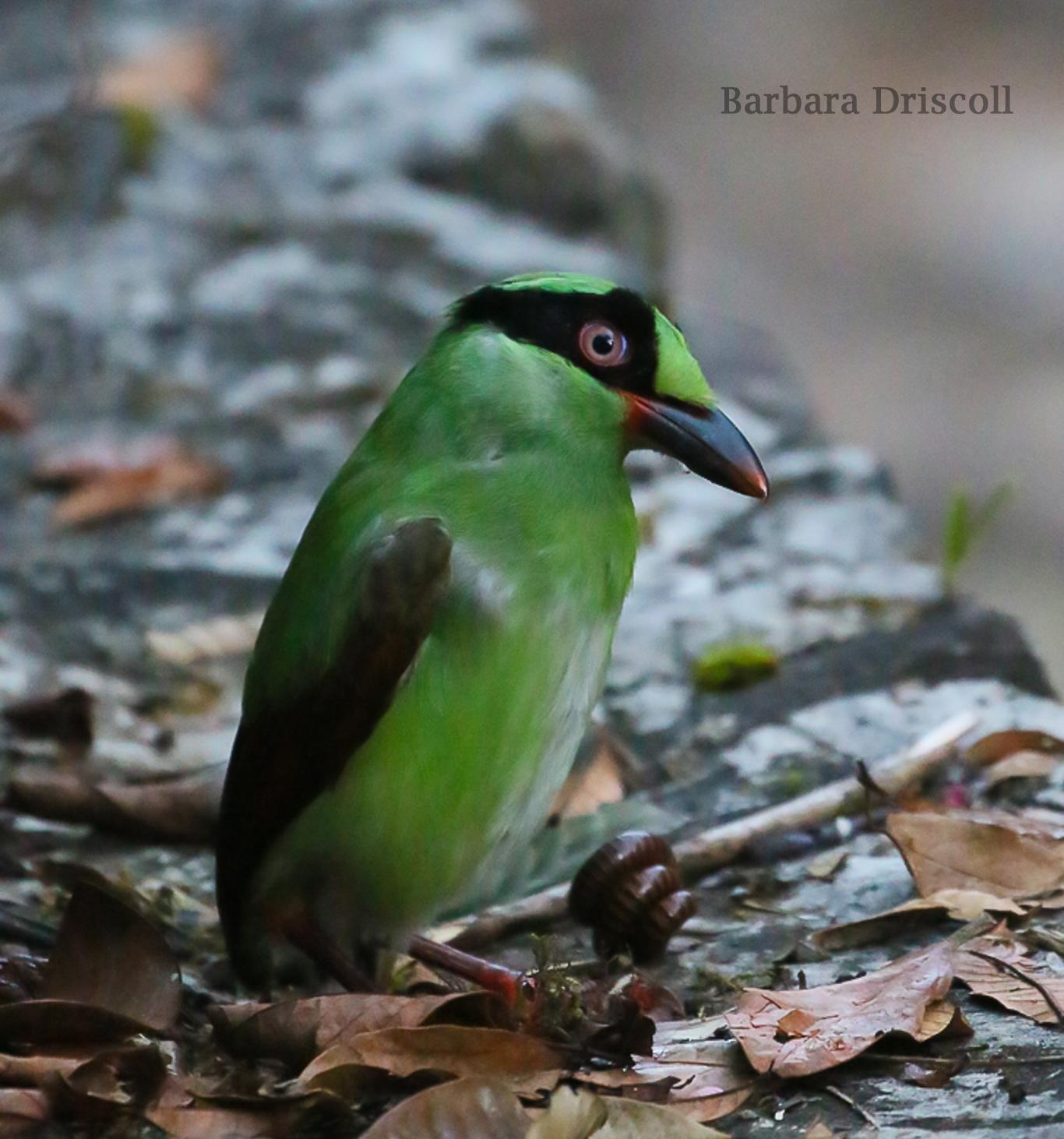 Bornean Green Magpie w  centipede.jpg