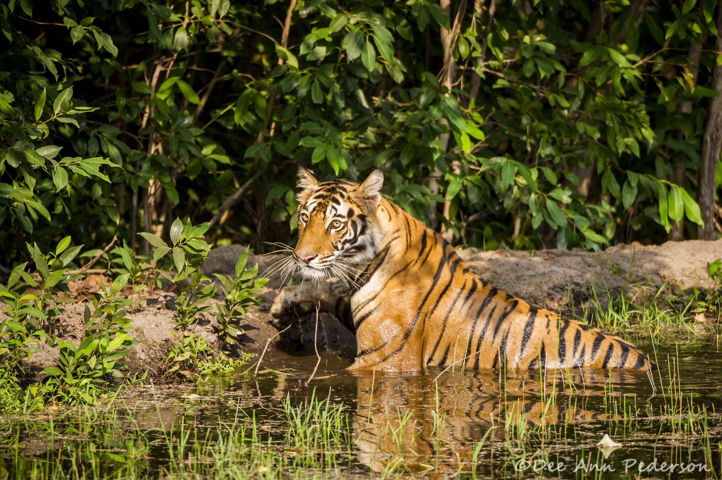 A Tigress' Oasis  by Dee Ann Pederson