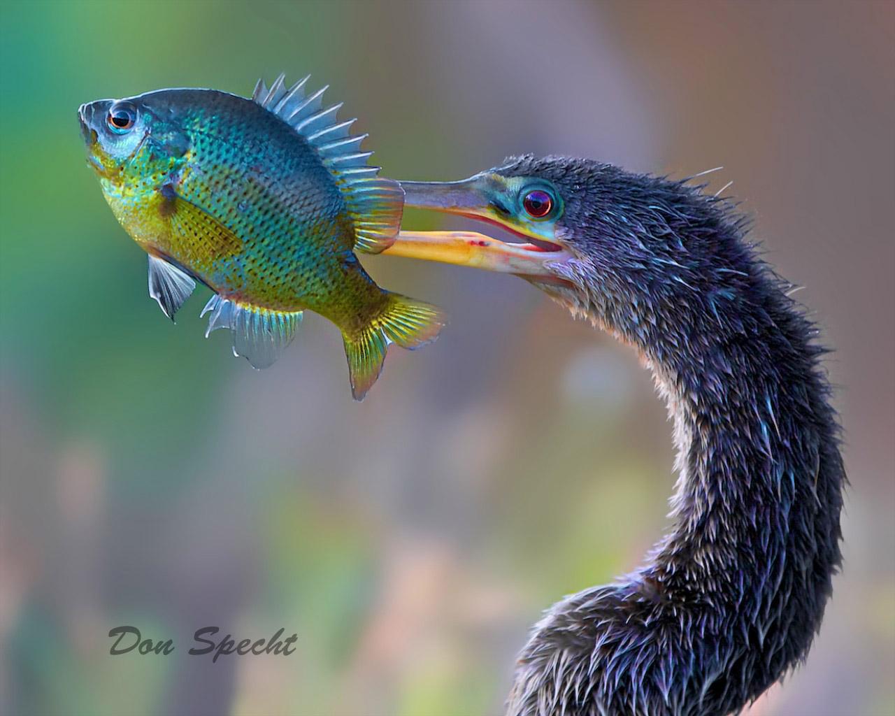 Ahinga displaying its catch