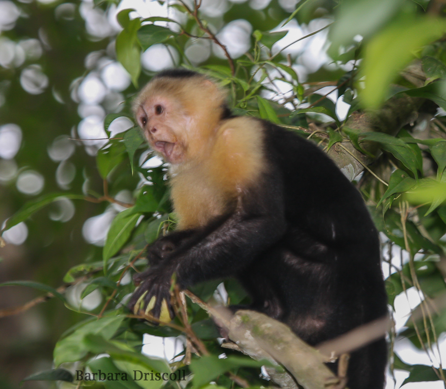 Capuchin with fruit