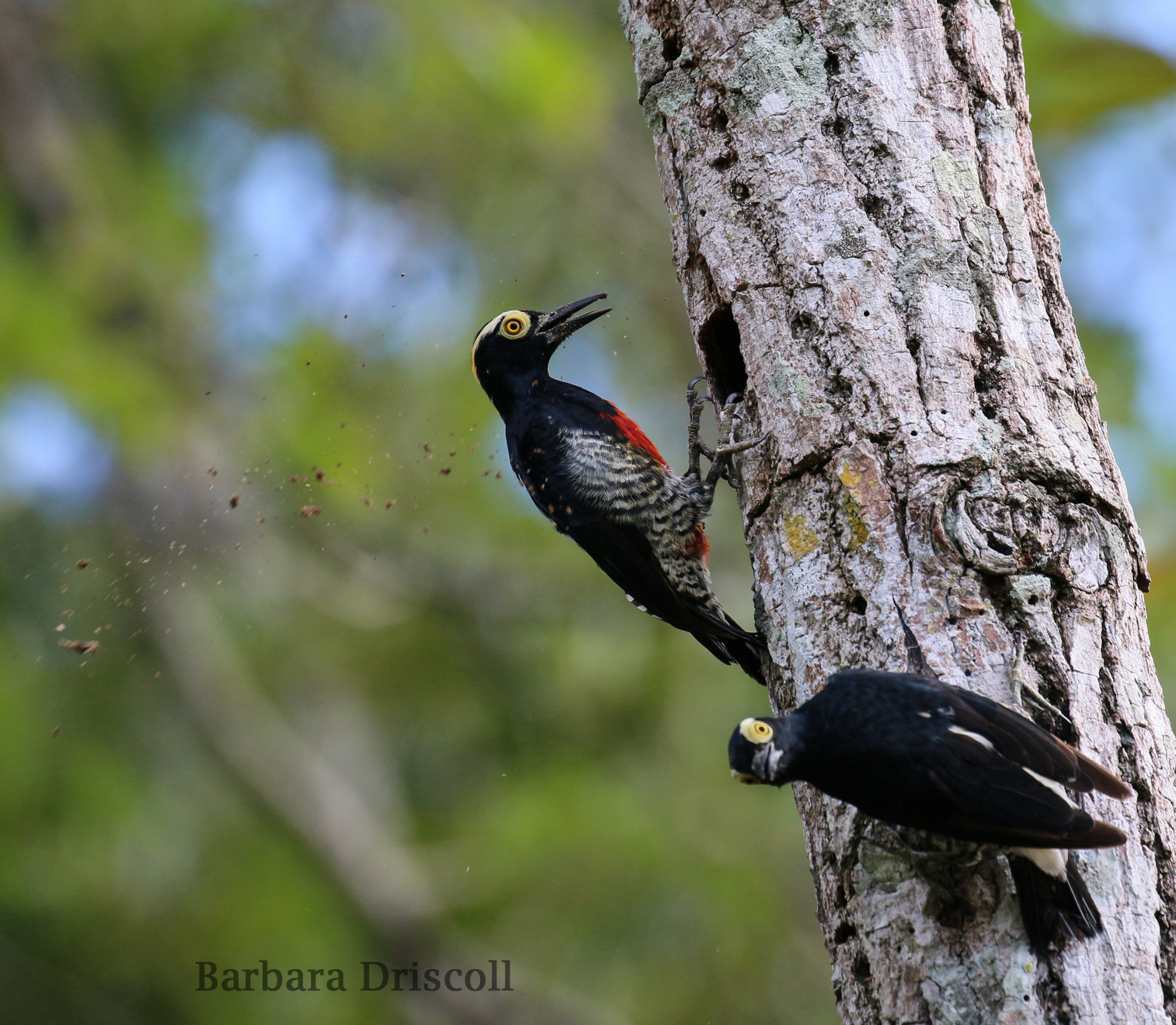Yellow-tufted woodpeckers