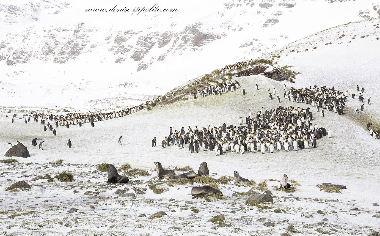 Ample Bay Penguin Colony on South Georgia Island