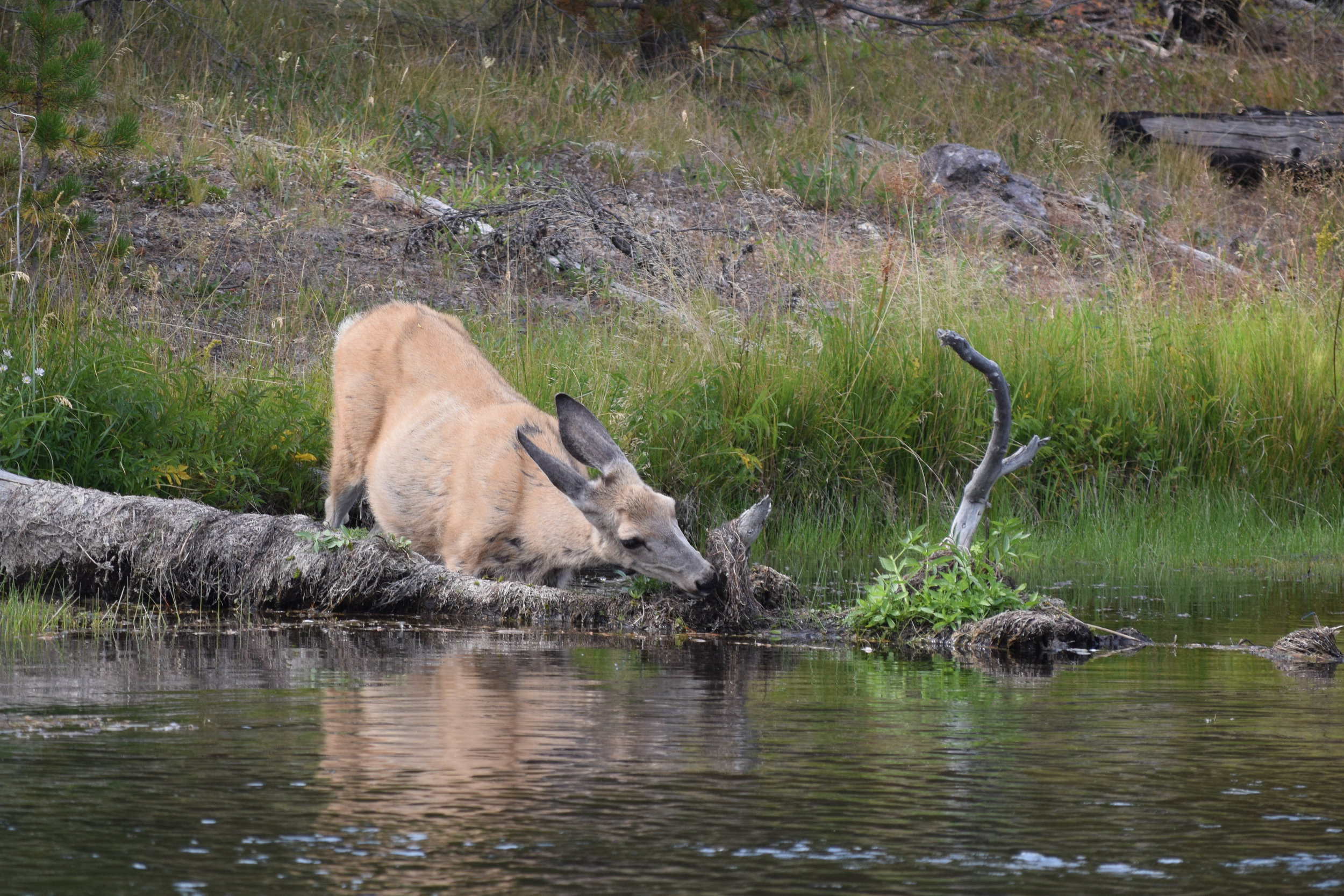 I was about 30 meters away from this elk cow when I took the photo, and there were several other photographers present. But we were all quiet and well-behaved, and we gave her the space she needed and deserved.