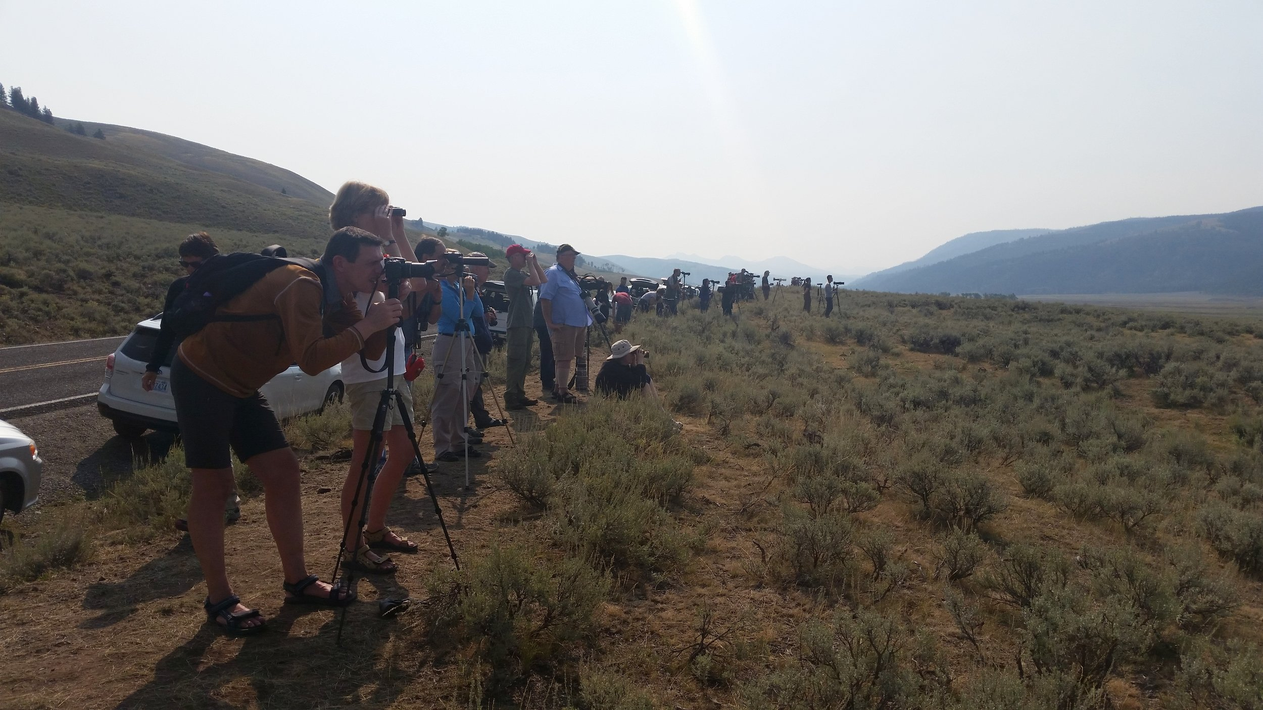 Some of these people in Yellowstone are taking photos, but most are just watching through scopes and binoculars. About a kilometer away, there's a grizzly bear and two wolves. Everyone here is acting responsibly, and enjoying their opportunity to see some amazing animals.