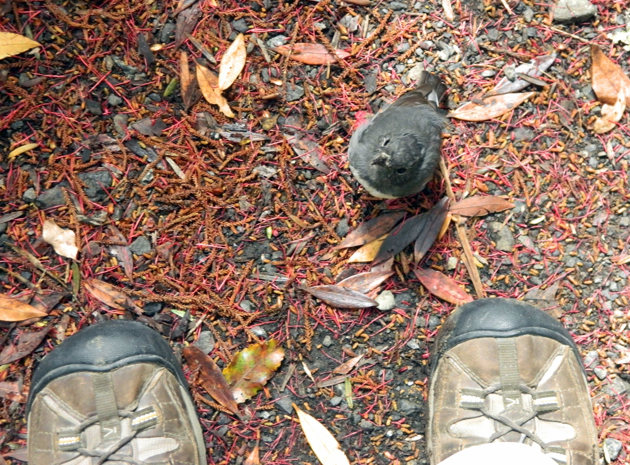 This curious New Zealand robin (or toutouwai) approached me on Ulva Island, off the south coast of the South Island. It was fascinated with my bootlaces!