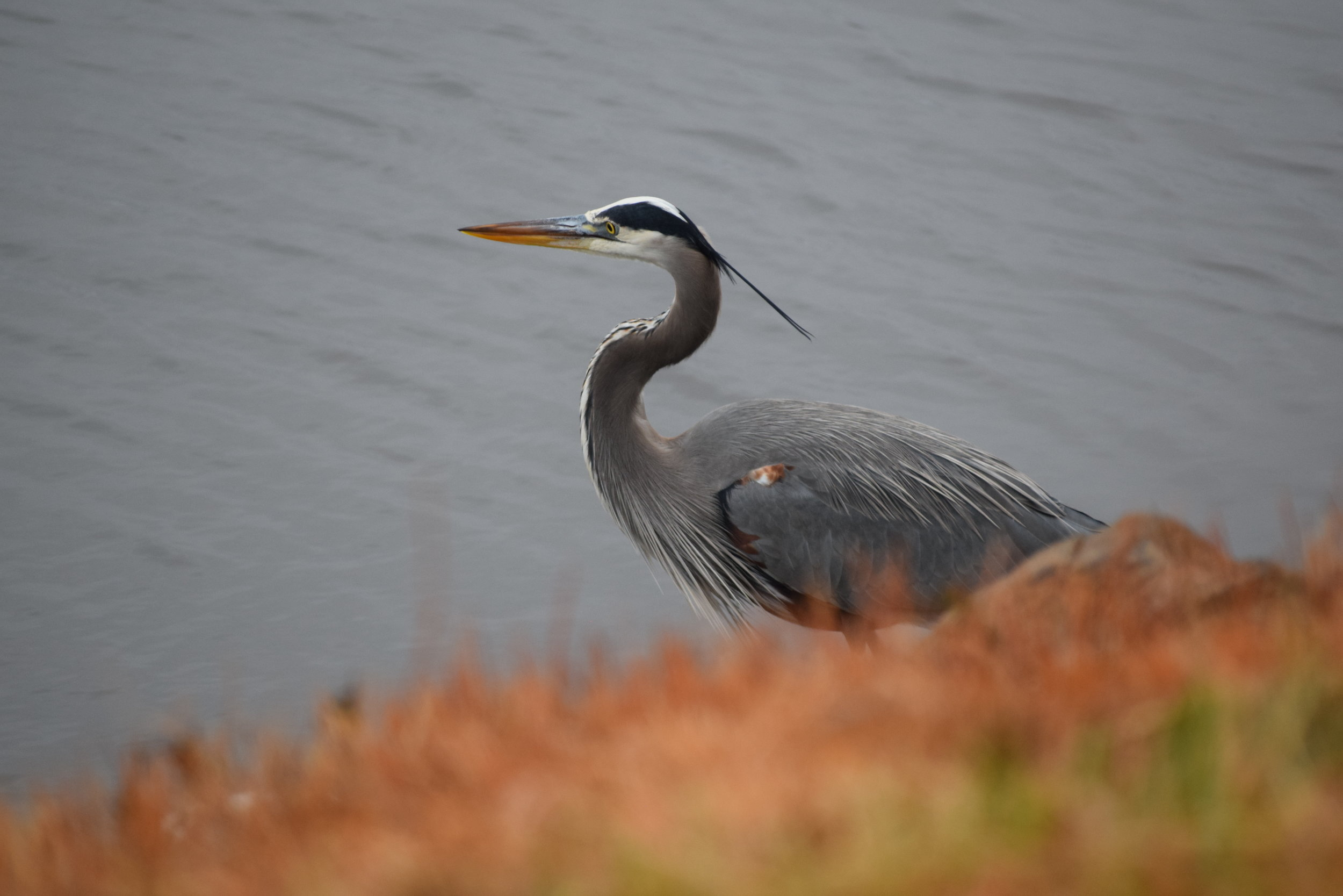 Great blue heron at Blackwater Refuge on the Eastern Shore, near the Choptank River