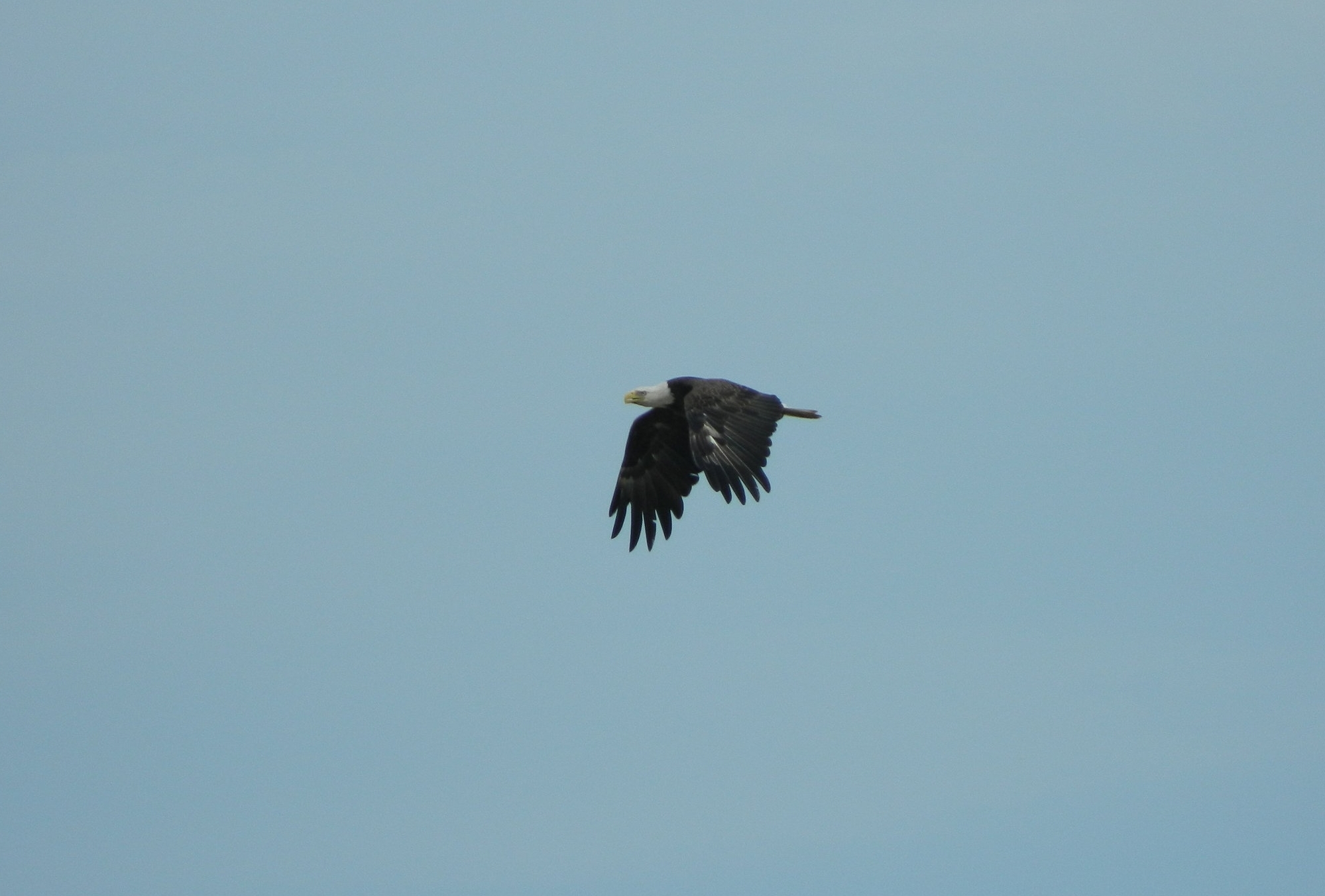 I nearly broke my ankle trying to get this shot of a bald eagle flying over the Bay.