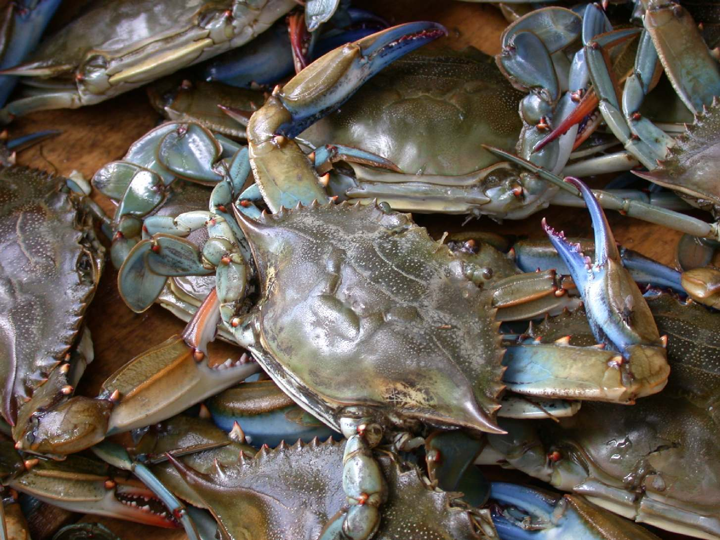 Blue crabs are some of the most important (and delicious) residents of the Chesapeake Bay. Males and females prefer different levels of salinity (saltwater), so the ever-changing estuary is ideal for them. Image by  wpopp .