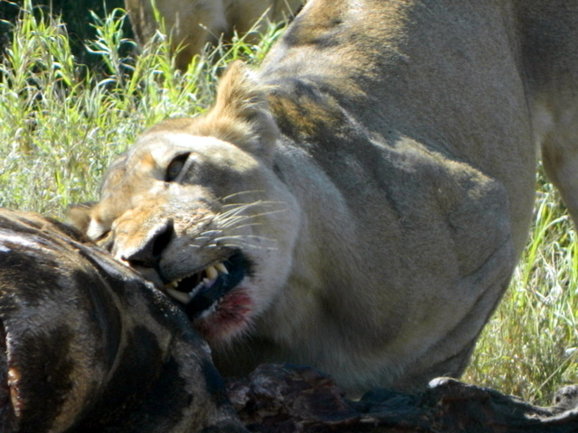 The alpha lioness, feasting on the remains of an unfortunate giraffe. I don't remember any scenes like this from the Disney cartoon...