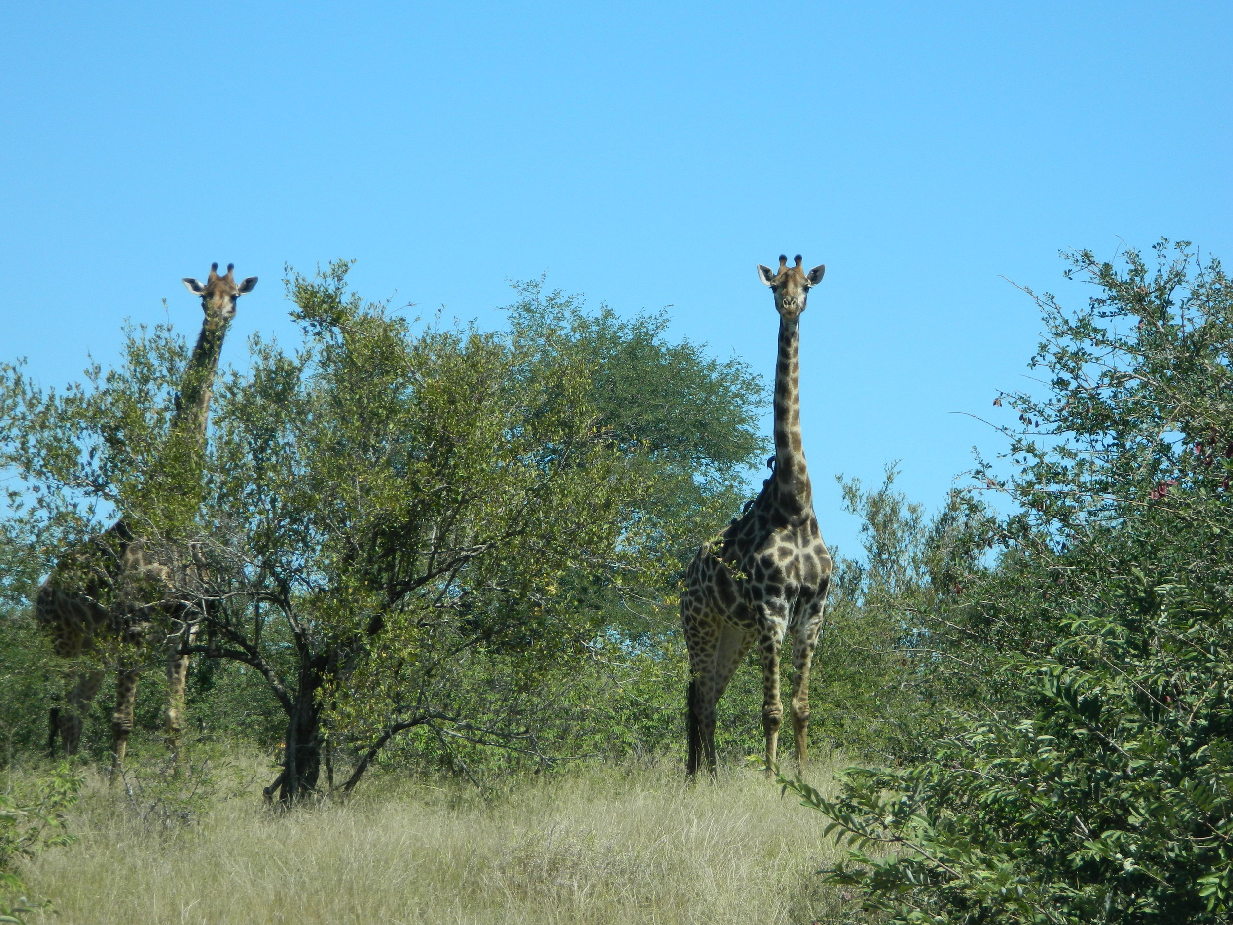 Giraffes already have high blood pressure to ensure circulation up to their heads, but these guys must have really been freaking out, given what was just down the road.