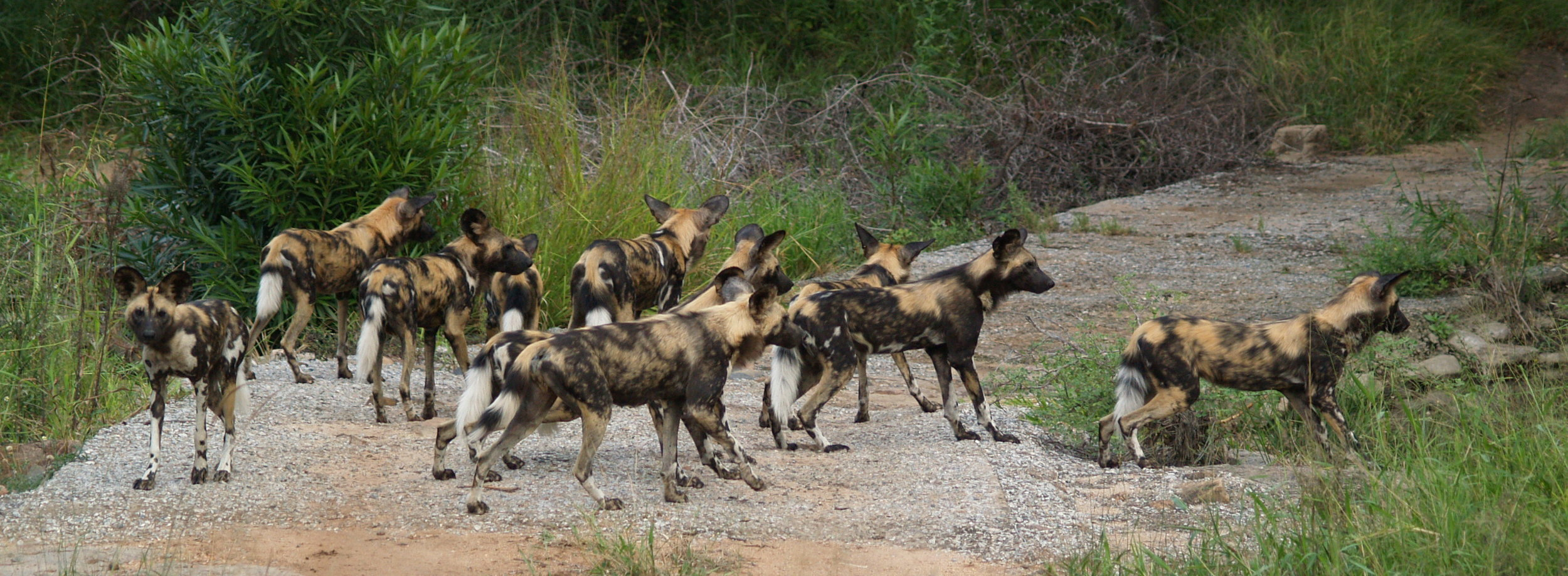 African wild dogs are pack hunting expert, which doesn't make them very popular among livestock farmers. Image by  Bart Swanson .