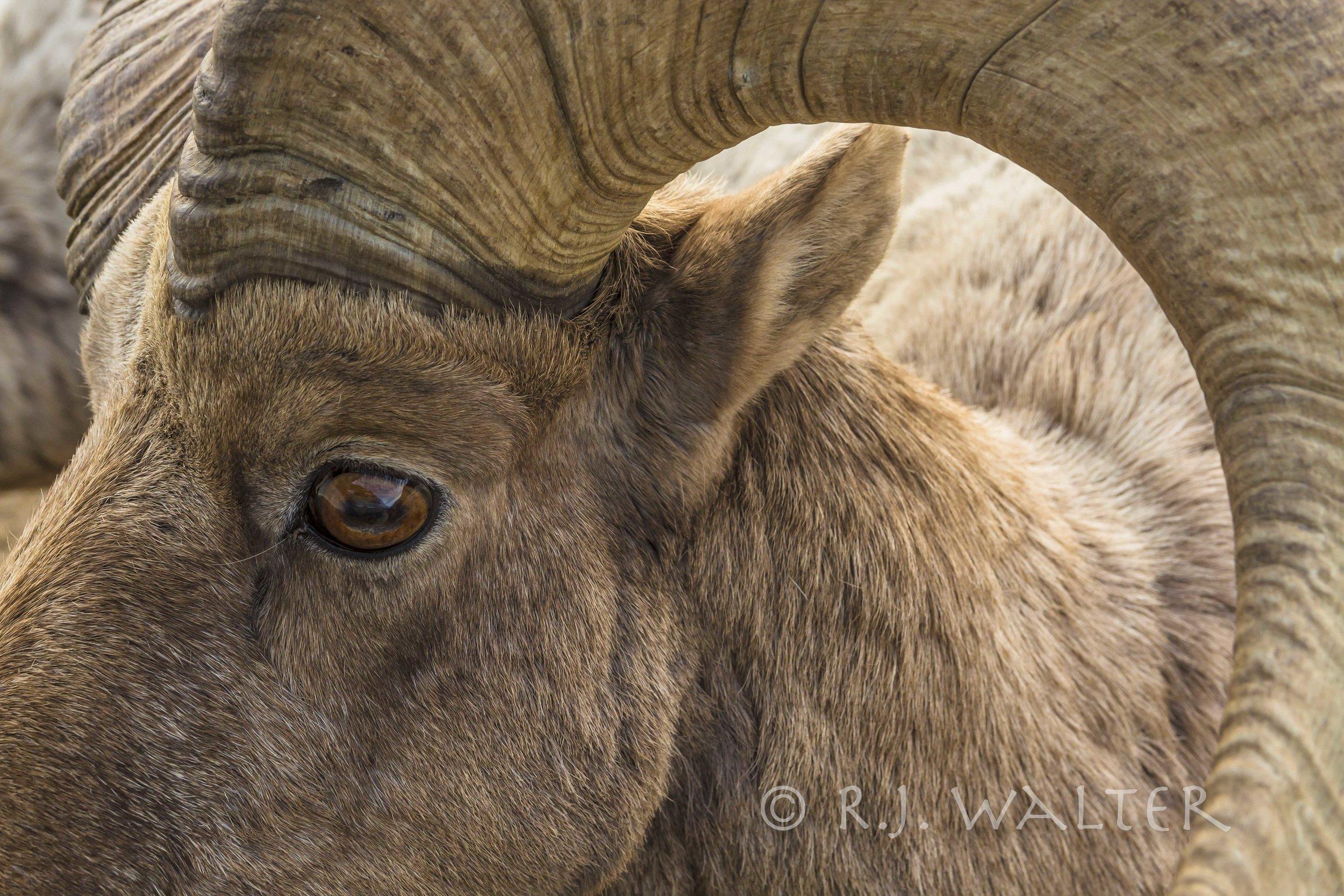 Bighorn Ram