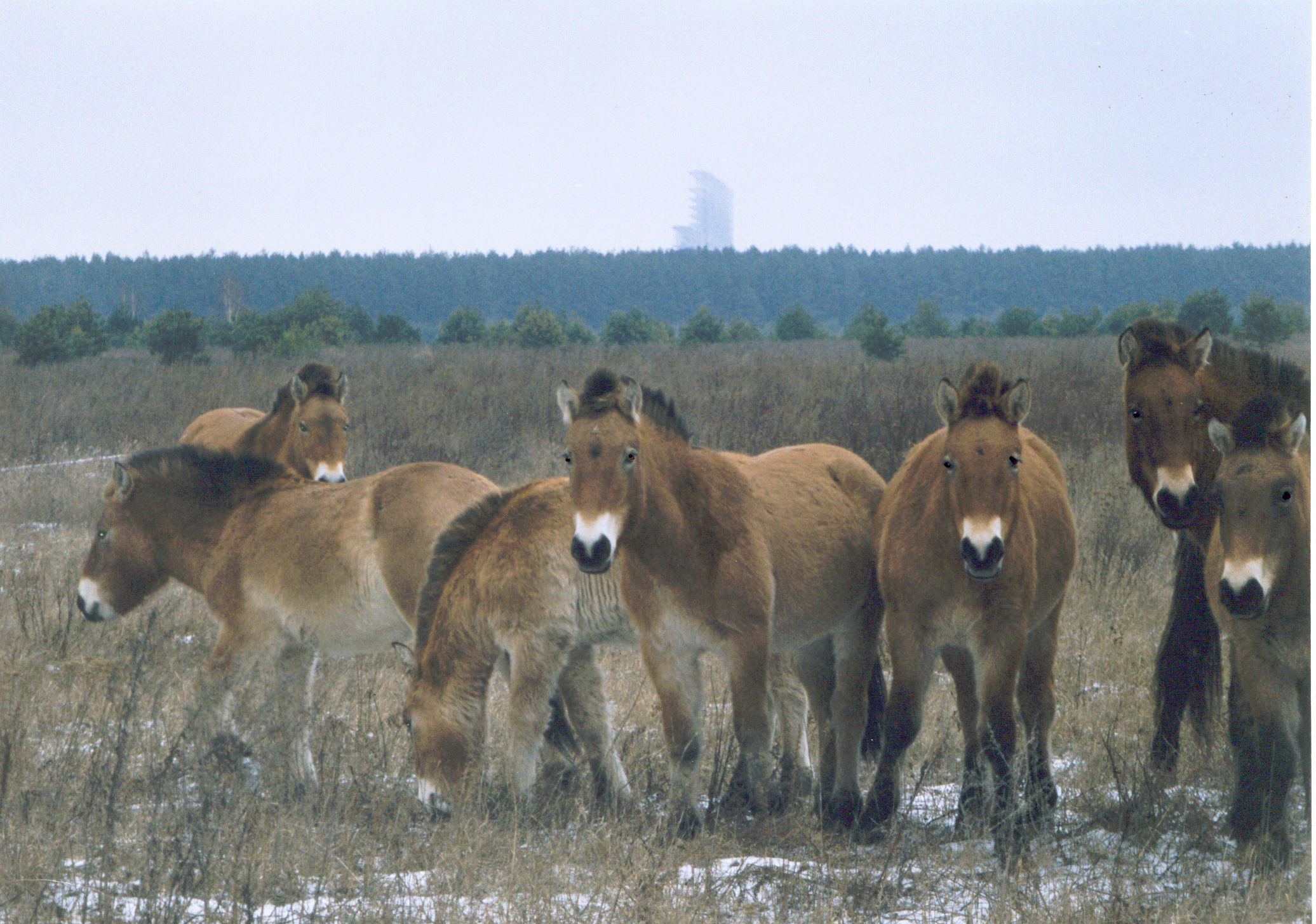 Przewalski's horses in the Exclusion Zone, with an abandoned power plant building in the background. Image by    Xopc   .