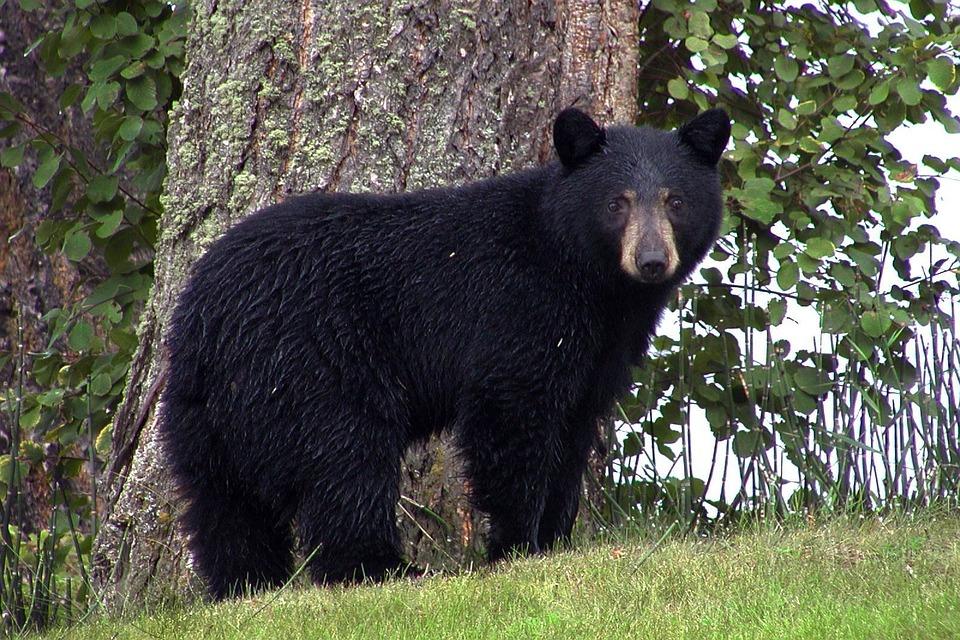 American black bear, or Ursus americanus.