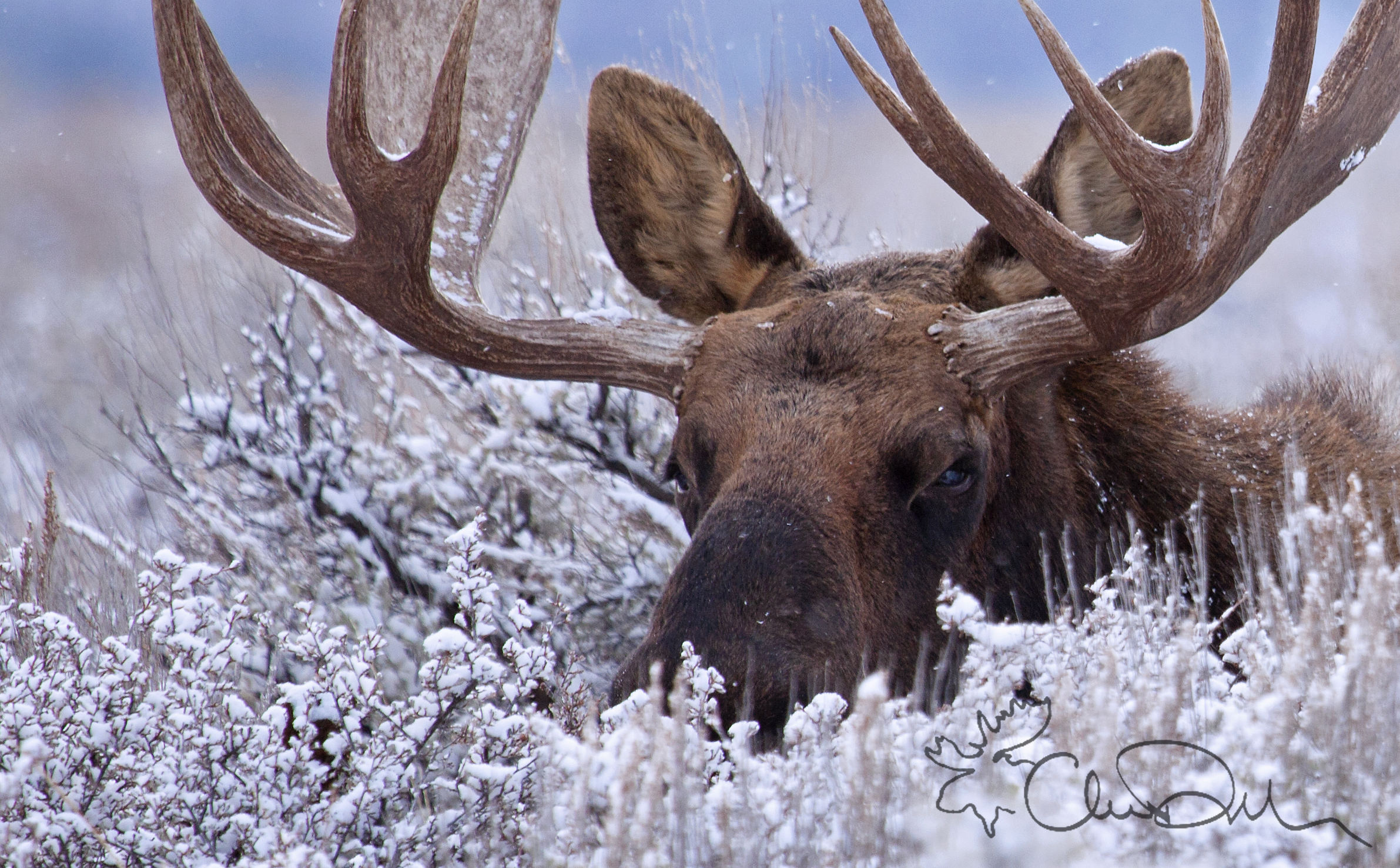 Moose shed their antlers in the winter, and regrow them in the spring. I guess this fellow hasn't got around to it yet. Image by  Chase Decker