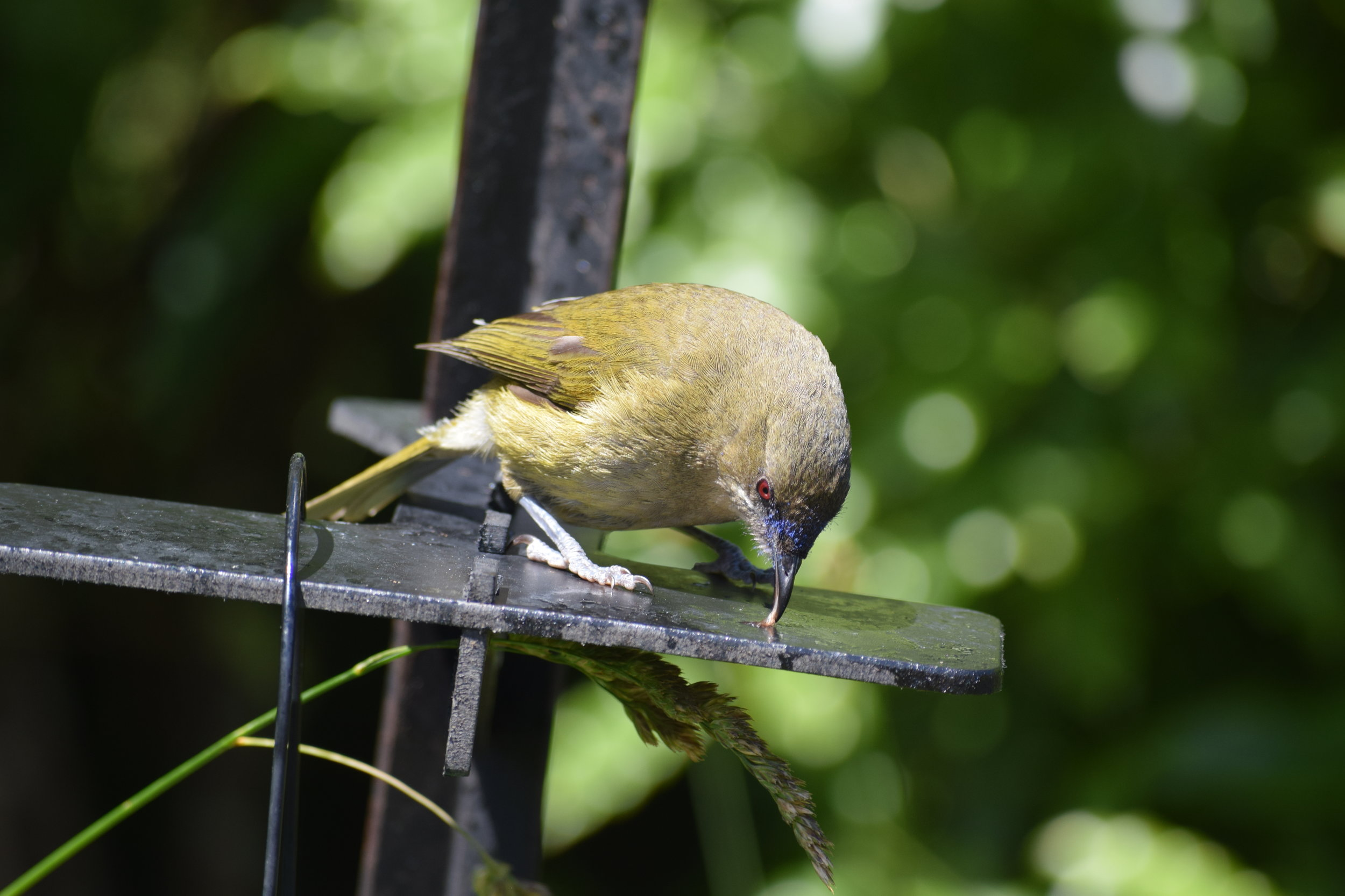 Bellbirds may not look flashy, but they produce the most incredible song! When Captain Cook first visited NZ in 1770, he commented on hearing the beautiful sound of bells from the shore. There must have been something tasty on this feeder platform - if you look closely, you can see this bellbird's tongue!