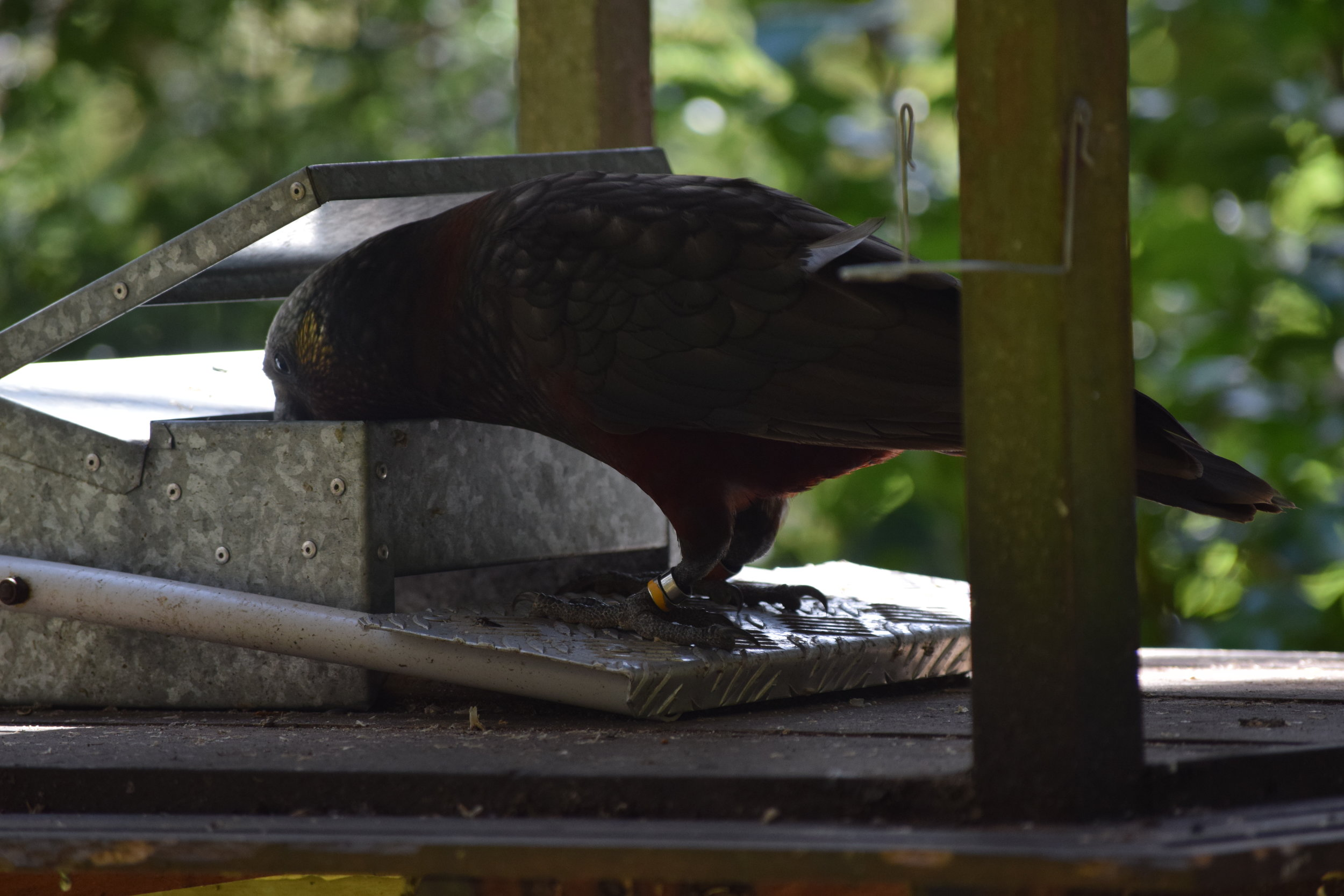 A South Island kaka, one of NZ's native parrot species. These feeder boxes are designed so that only the heavier parrots can stand on the lever to open them.