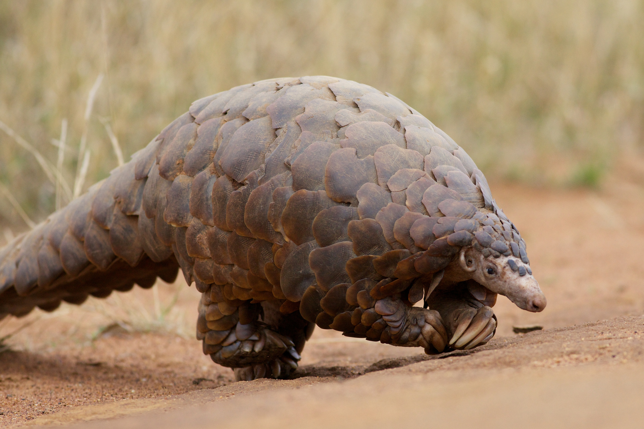 A sentient pinecone? A walking artichoke? No - a ground pangolin in South Africa. Image by  David Brossard .
