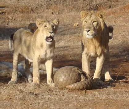 Pangolin defending itself from lions. Image by    Sandip Kumar .