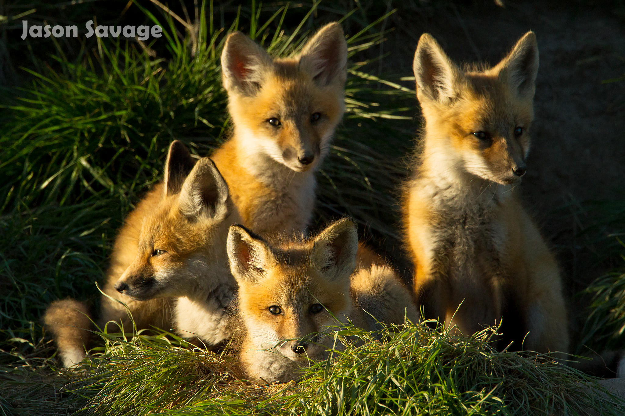 Foxes are some of the most popular wildlife photo subjects. Image by  Jason Savage .