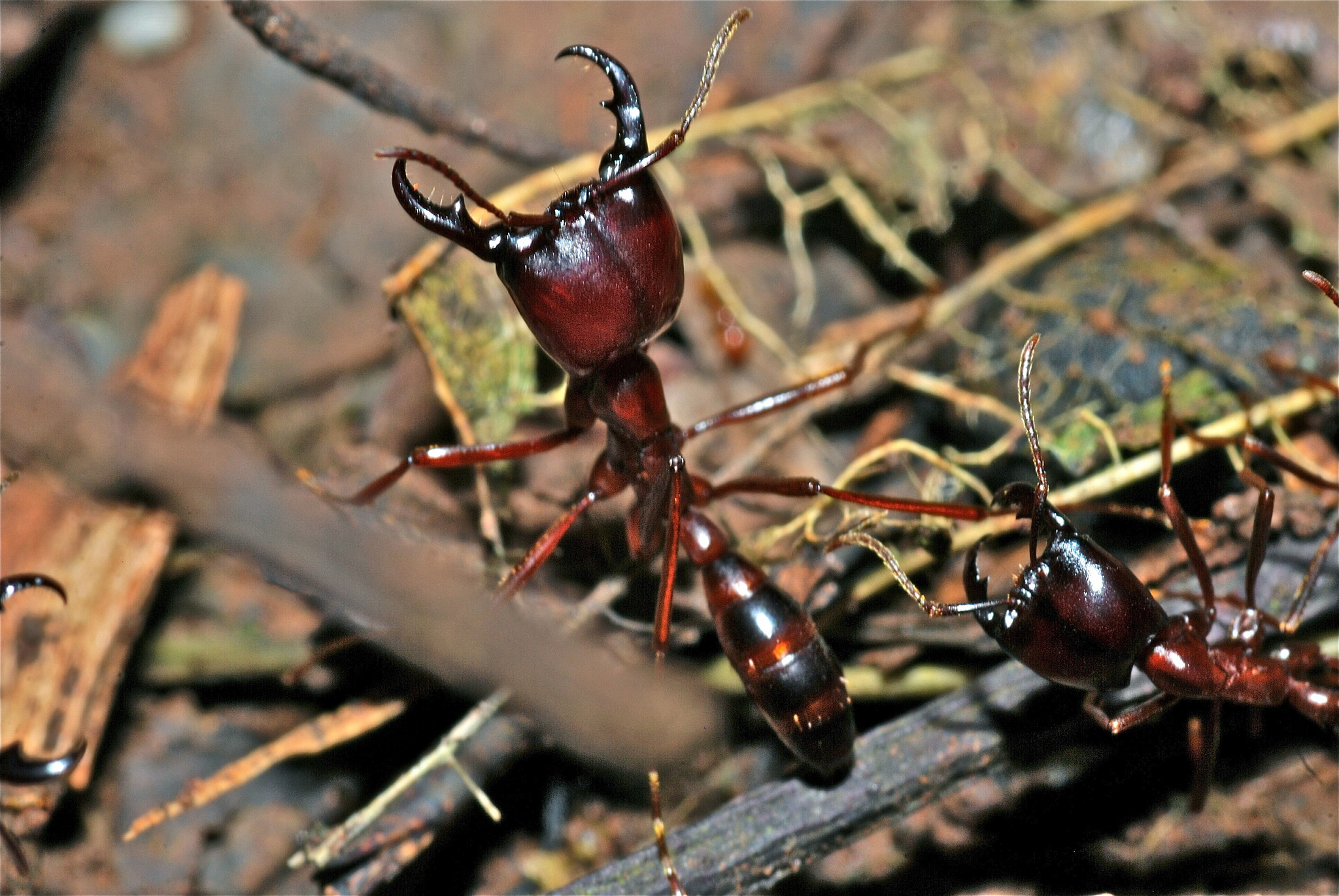 These army ants in Uganda are a critical part of the forest ecosystem. Image by  Bernard DUPONT