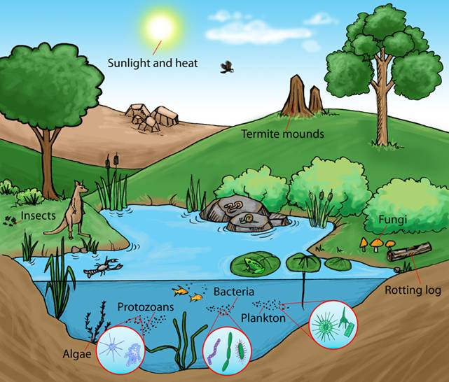 This illustration shows a few of the important components of a pond ecosystem. Healthy ecosystems depend on biodiversity, not just a few charismatic critters! Image by Tsilia Yotova.