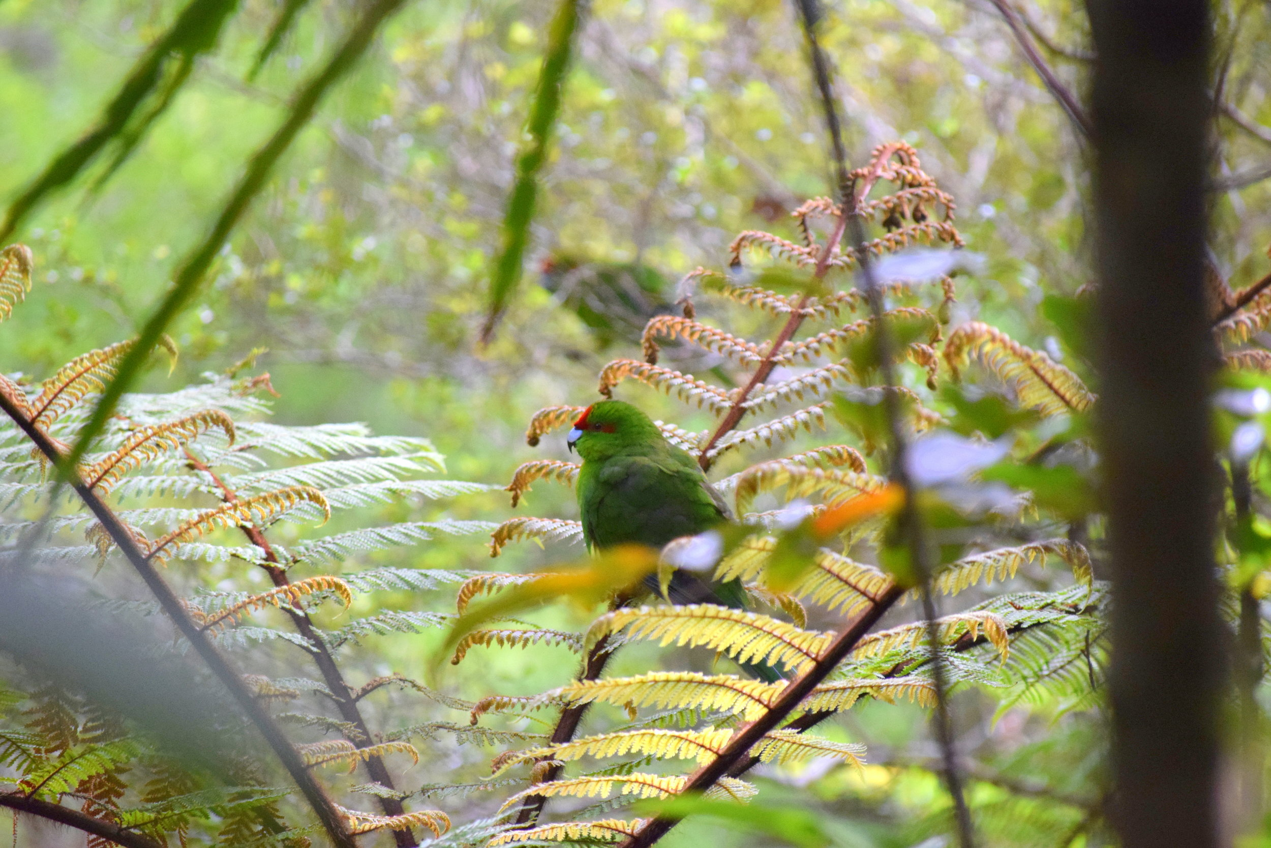 A pair of kakariki (NZ native parakeets) perch in tree ferns on Ulva Island.