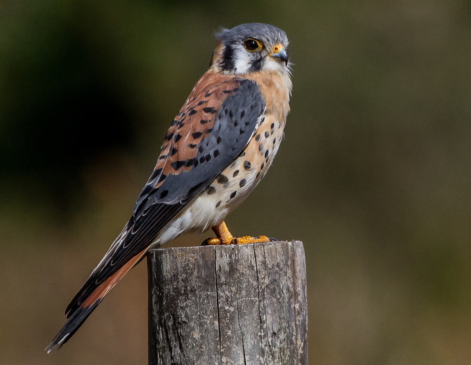 10/10 side-eye, because kestrels are tiny furious fluffs. Image by  Andy Morffew .