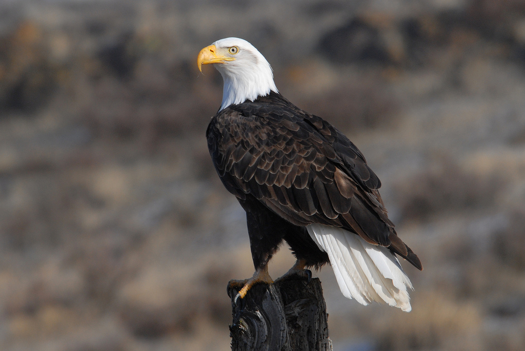 A national icon. Image from the  US Fish and Wildlife Service