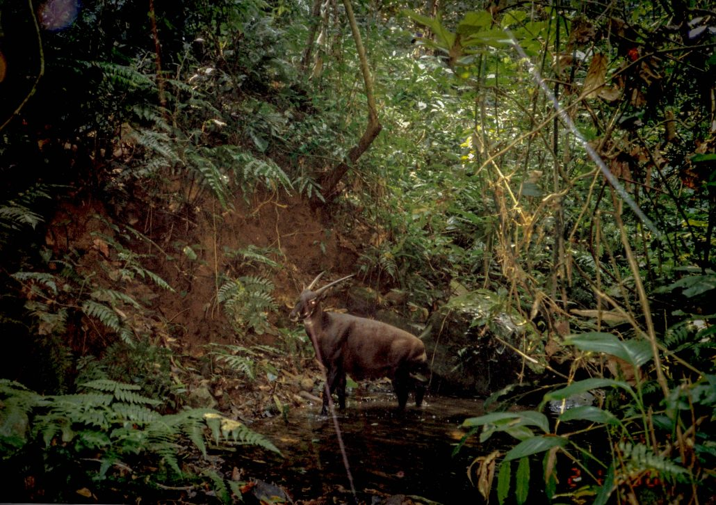 The first photo of a wild saola ever, captured by a camera trap. Image from William Raubichaud, via the  Saola Working Group .