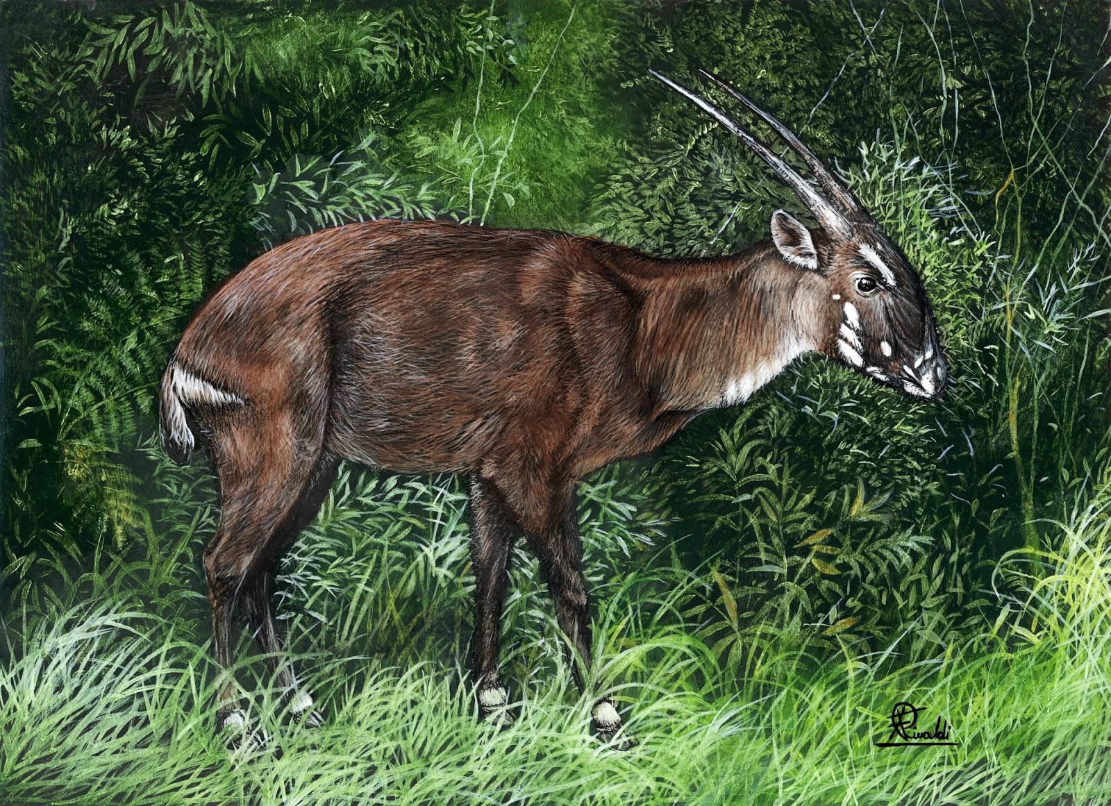 Illustration of a saola by wildlife illustrator  Francesco Rinaldi .