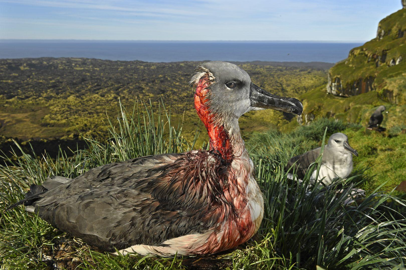This juvenile gray-headed albatross has been partially eaten by mice. This image evokes feelings of negative awe - is it more likely than the image above to generate support for conservation efforts? Image by  Thomas P. Peschak