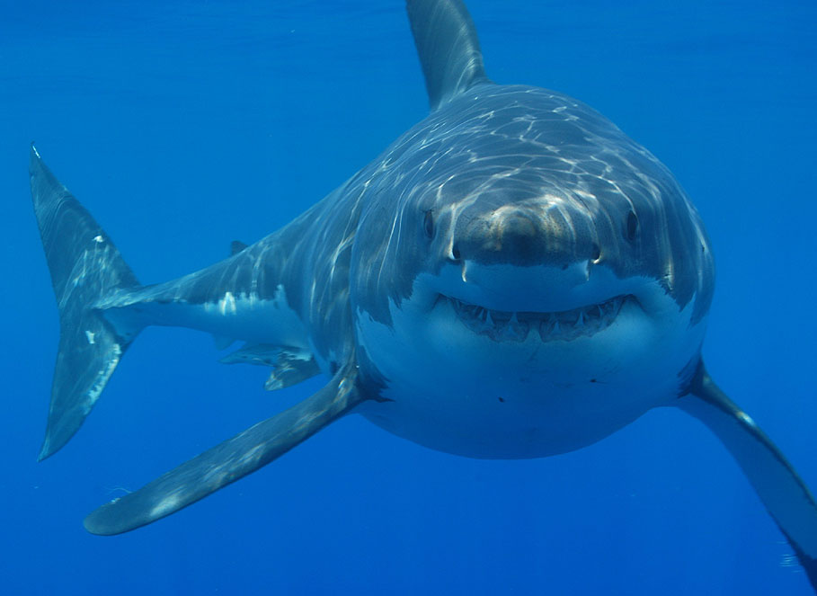 Great white sharks really got the short end of the stick after  Jaws . Image by  Hermanus Backpackers .