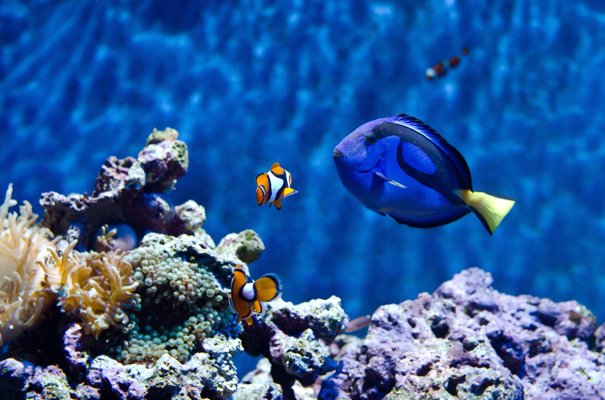 Tropical marine life is probably best left in its native habitat. Image by  looyaa .