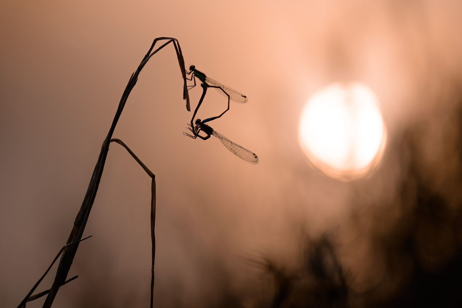 This beautiful shot by  Spencer Cox  renders the usually-invisible world of damselflies visible.
