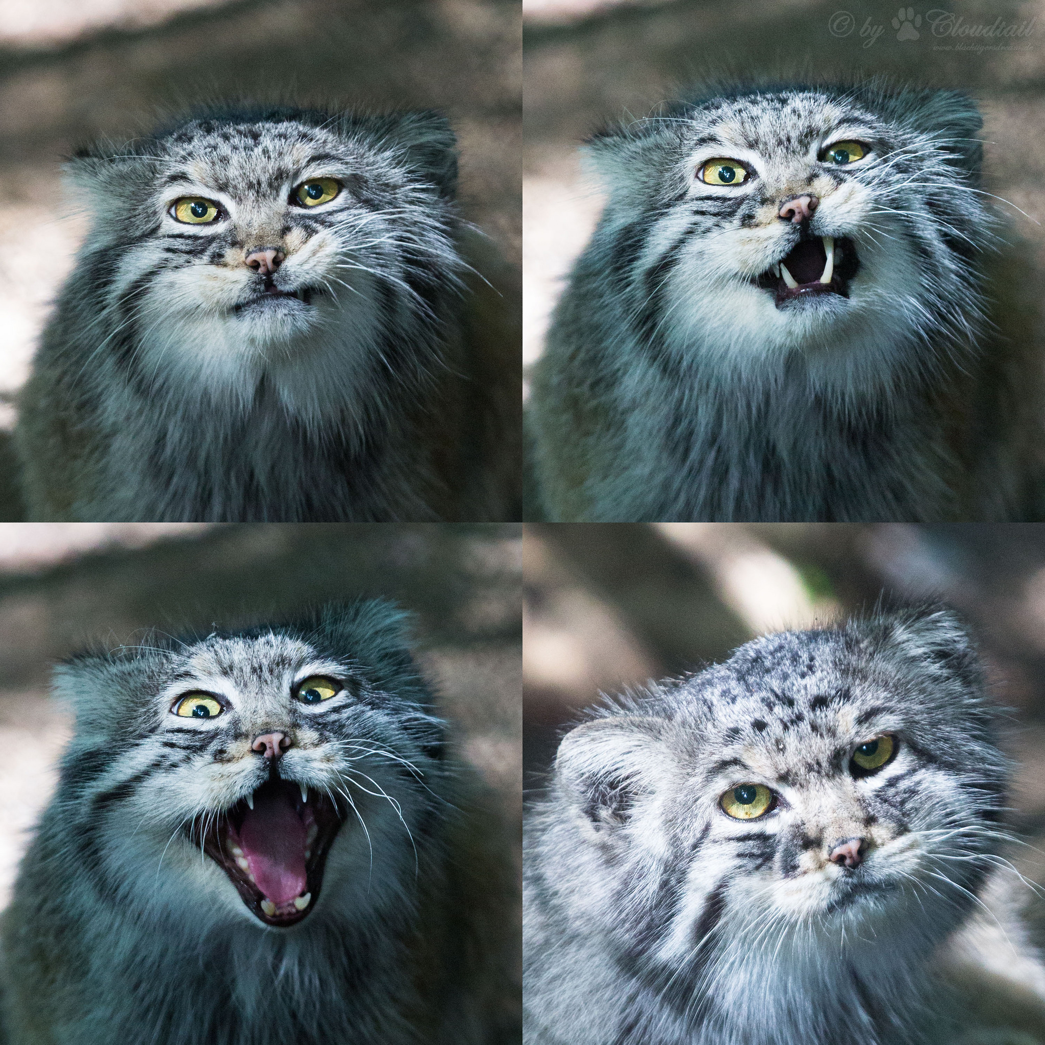Pallas cats are ridiculously expressive. Image by  Cloudtail the Snow Leopard .