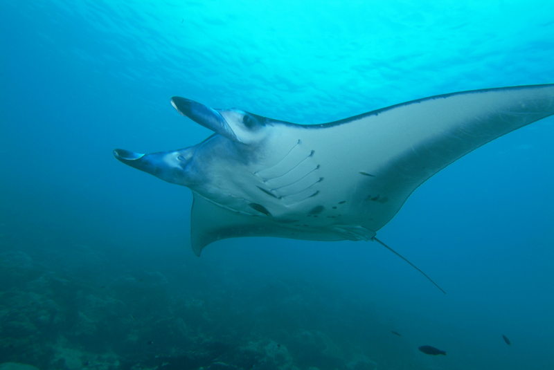 Manta rays may be huge and bizarre-looking, but they're harmless to humans and popular with divers. Image by  Bartek.cieslak .