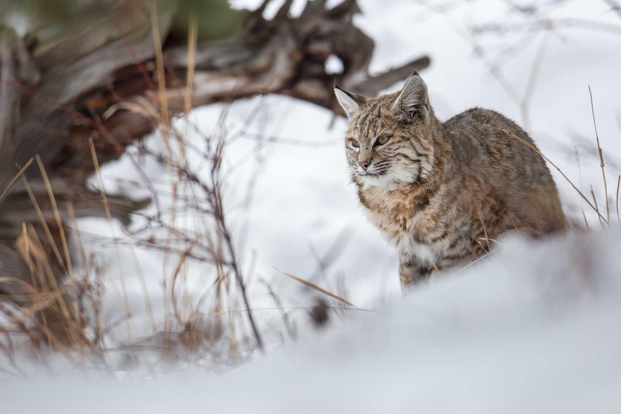 The $300,000 Madison River bobcat, by Neal Herbert, via  Yellowstone National Park .