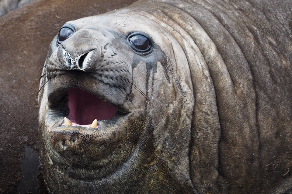 Elephant seal on Campbell Island, courtesy of my friend Ellen Rykers.