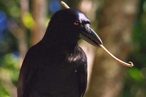 New Caledonian crows make their own custom tools from leaves and sticks. Image from Cornell University, via  Brooks Hays and UPI .