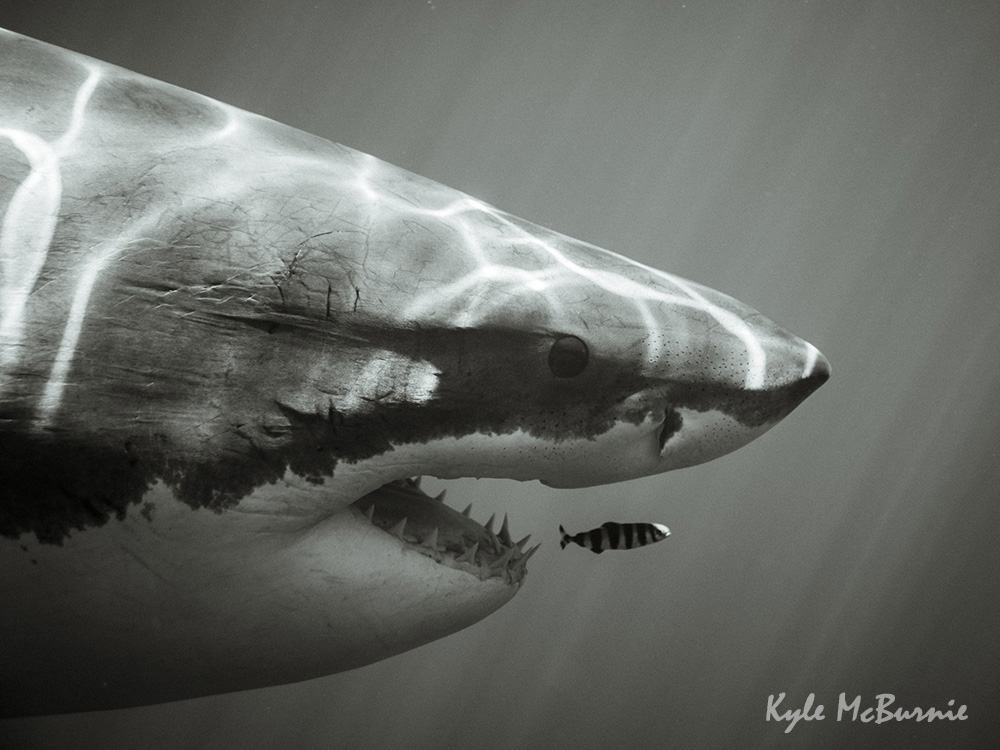 Great white shark at Guadalupe Island, Mexico, by  Kyle McBurnie .
