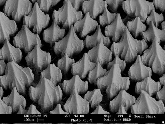 Shark skin is made up of tiny tooth-like scales called denticles. Image by Sue Lindsay via  Australian Museum .
