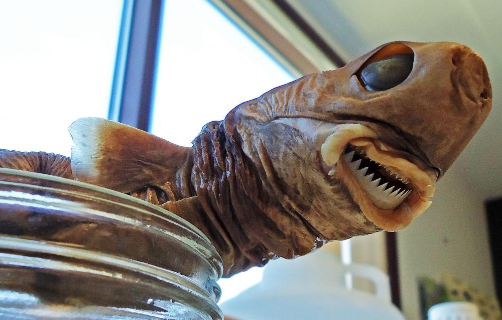 A preserved specimen of a cookiecutter shark. Image by Jennifer Strotmen via  Smithsonian Ocean .