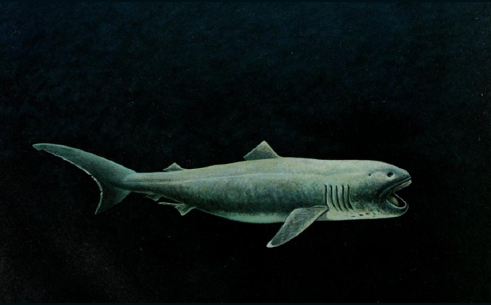 The megamouth is extremely well-named. Image by Richard Ellis via  Mental Floss .