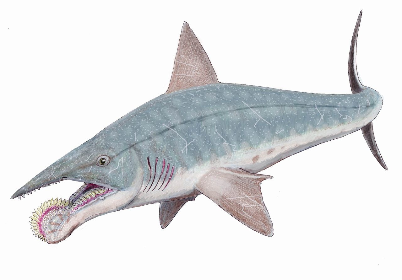 A more recent guess at the appearance of a helicoprion. Image by  Dmitry Bogdanov, 2008 .