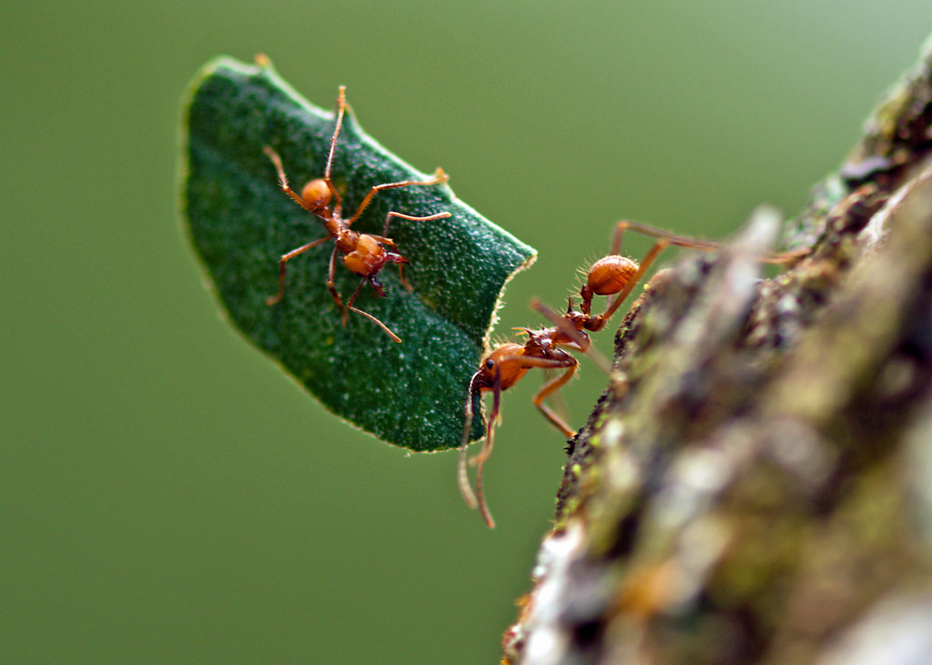 Leafcutter ants in action. Image by  Kathy & sam .
