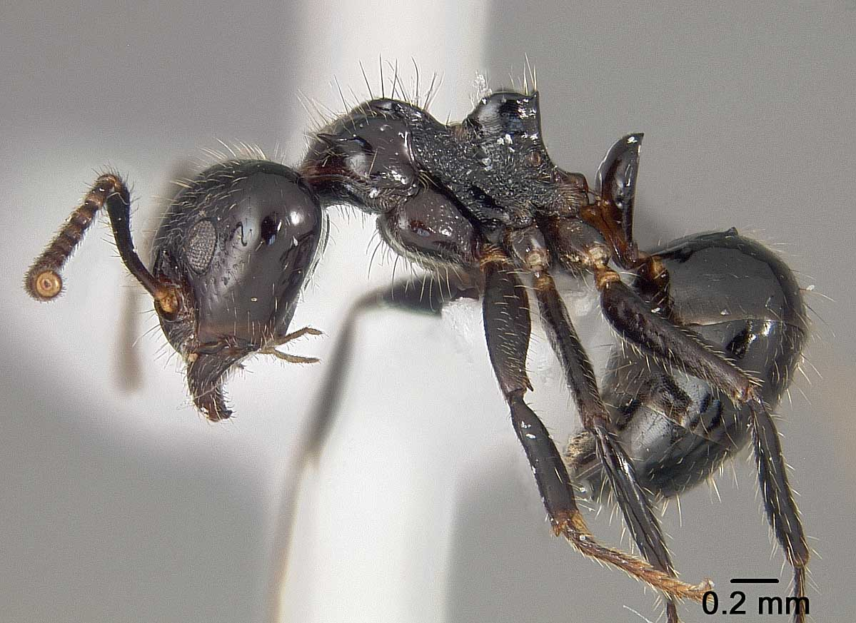 My photos of the  Dolichoderus inpai  are the first known images of the species.